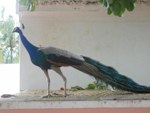 ARPeacock